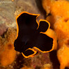 CA135609juvepinnatespadefish copy