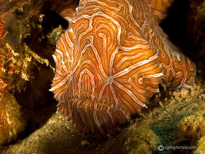 CA135417AmbonPsychedelicfrogfish copy