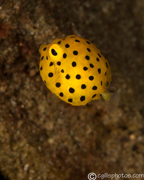 CA145828yellowboxFish copy