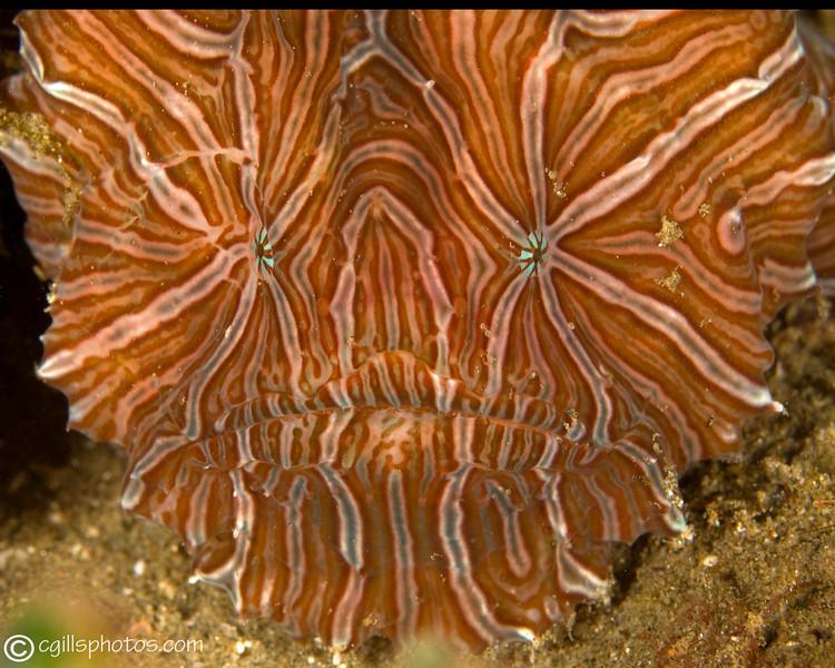 CA135422ambonpsychedelicfrogfish copy
