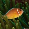 CA141273PinkAnemoneFish copy