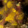 CA125147Paintedfrogfish copy