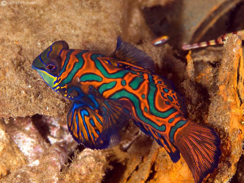 CA135729Mandarinfish copy