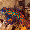 CA135729Mandarinfish copy
