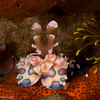 CA145882HarlequinShrimp copy
