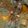 CA145838SaronShrimp copy