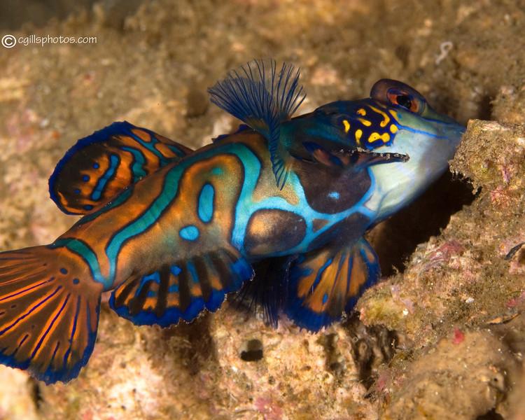 CA135697mandarinfish copy