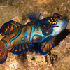 CA135697mandarinfish copy