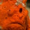 CA125252wartyfrogfish copy