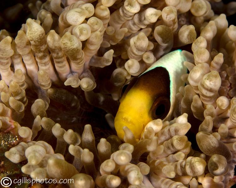 CA151534_edited-2AnemoneFish