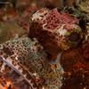 CA193158_edited-2Scorpionfish