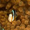 CA182500_edited-2OrangefinnedAnemonefish