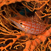 CA161914_edited-1LongNoseHawkfish_edited-2LongNosehawkfish