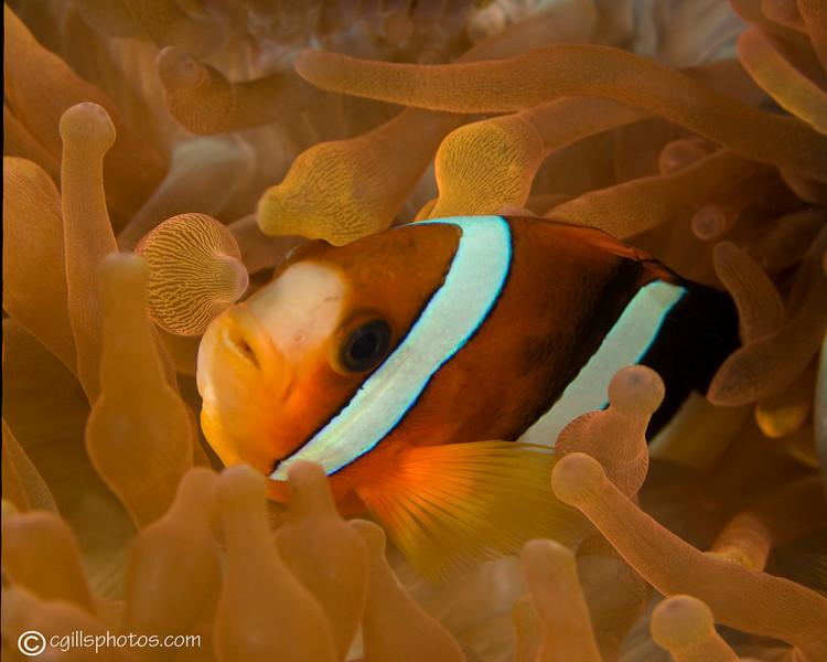 CA182502_edited-2OrangefinnedAnemonefish