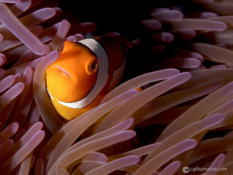 CA193279_edited-2anemonefish