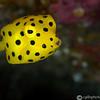 CA182516_edited-2JuvenileYellowBoxfish