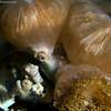 Cyclocoeloma tuberculata Crab