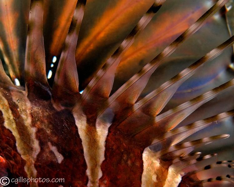 CA203738_edited-2Lionfishpattern