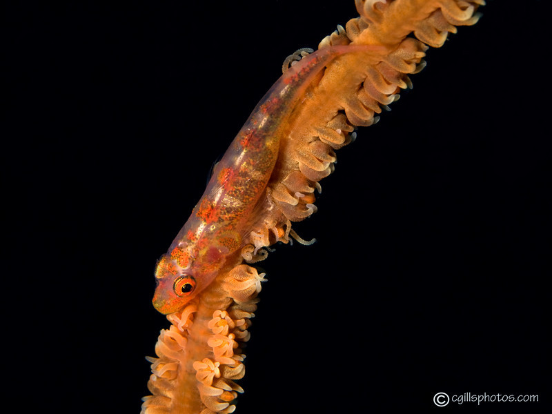 CA213883_edited-2Wirecoralblenny