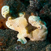 CA203702_edited-2frogfish