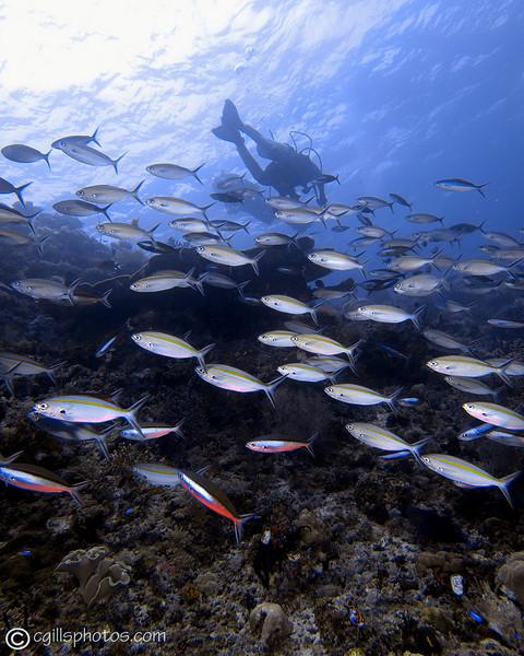 CA172441_edited-2WAdiver_schoolingfish