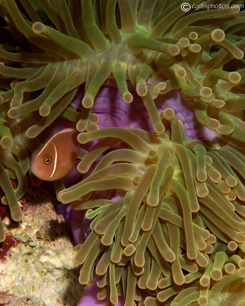 CA203530_edited-2PinkAnemoneFish