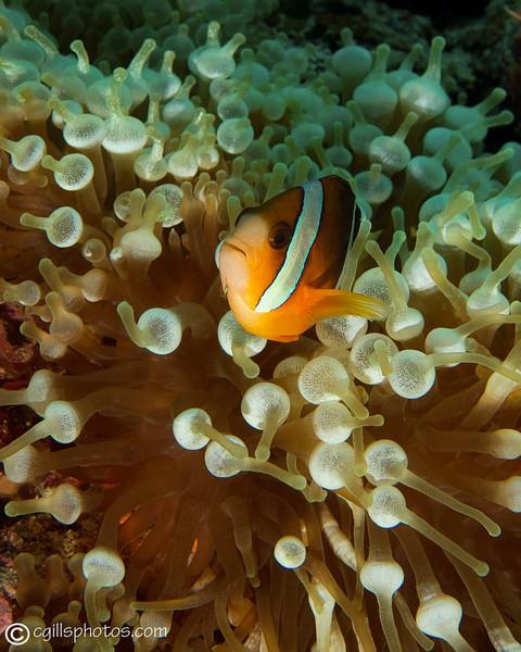 CA182719_edited-2WAanemone_fish