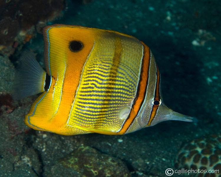 CA203535_edited-2LongBeakedCoralfish_ChelmonRostratus