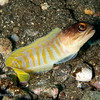 CA213869_edited-2Yellowbarredjawfish