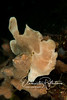 Frogfish usually share the color and texture of the sponges on which they live. This one is 6-8 inches long.