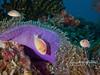 Pink anemonefishes