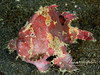 Anglerfish/frogfish walking on sand