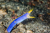 Blue ribbon eel (about the size of a pencil)