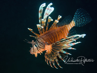 Lionfish (1 foot long)
