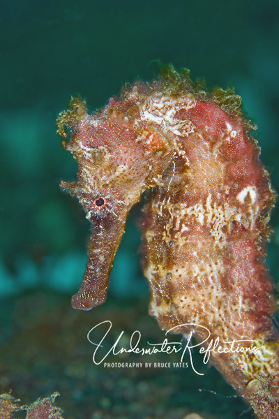 """Seahorse (6 inches tall).  Note the algae growing on her.  Seahorses spend most of their time motionless, so this """"hairy"""" look of algae is normal.  I particularly like the little Betty Boop curl on this particular one's forehead!"""