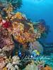 Two emperor angelfish swim beneath corals and sponges