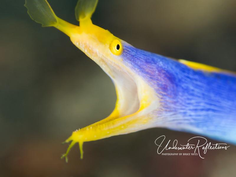 Blue-ribbon eel closeup