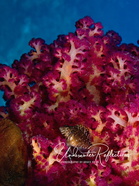 Hawkfish (2 inches) watches from a brilliantly intense colored soft coral