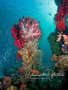Colorful reef column: abundant corals, golden sweepers, glassfish and anthias envelope this freestanding coral column as a red 1-foot coral trout swims at its base