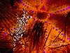Zebra crab (1/2 inch across) in fire urchin