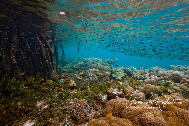 Mangrove roots provide a place of refuge for small schooling fish, and the nearby shallow reef is home to scores of young fish.