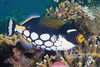 Clown triggerfish (1 ft long)