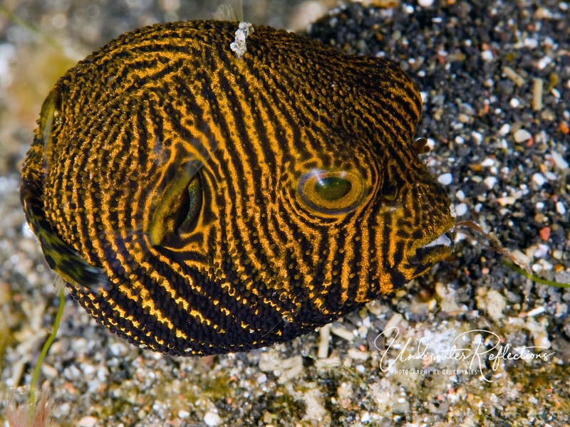 Cherry-size baby puffer - likely a map puffer. When he's an adult, he may get to be two feet long!