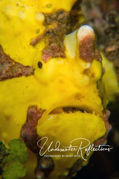 Anglerfish/frogfish