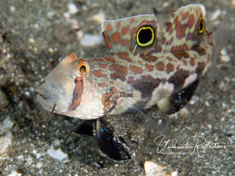 "Twin-spot goby (2 inches) - notice the sand pouring from his gills? That's because, like many gobies that live in sand, he is a ""sand-sifter"" - taking mouthfuls of sand and filtering algae and other living material out as it passes the sand itself out through its gills."