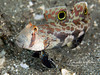"""Twin-spot goby (2 inches) - notice the sand pouring from his gills? That's because, like many gobies that live in sand, he is a """"sand-sifter"""" - taking mouthfuls of sand and filtering algae and other living material out as it passes the sand itself out through its gills."""