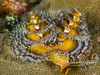 Christmas tree worm (1 inch high)