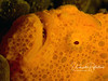 Anglerfish/frogfish face closeup