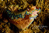 Nudibranch (3 inches long)