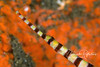 Banded pipefish face in front of orange sponge